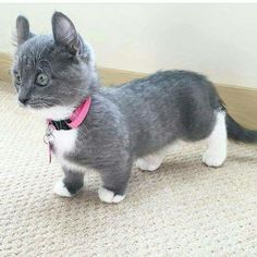 These poor cats have short legs, yet I can't resist the cuteness!
