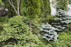 Havukasveja puutarhaan - Kotipuutarha Plants, Outdoor Decor, Outdoor