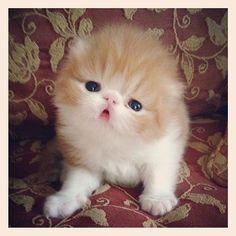 Persian kittens Instagram photo by @cntrlprk • 69 likes