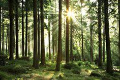Bos - Sunbeam Through Trees - Fotobehang & Behang - Photowall