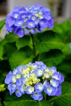 Unusual Flowers, Small Flowers, Diy Flowers, Blue Flowers, Planting Fruit Trees, Trees To Plant, Planting Flowers, Types Of Hydrangeas, Types Of Flowers