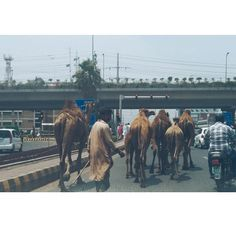 #Lahore: Transportation in #Pakistan is extensive but still developing to serve the large population. It is not uncommon to see #camels stuck in traffic. Photo taken by @unmaderhyme. #localculture #photooftheday #comissionculture