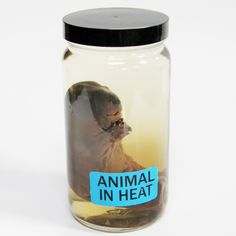 A fetal beaver bottled in an alcohol solution.  All specimens were collected ethically, and no animals were killed for the purposes of collection.  All shipped specimens will be shipped dry, in the container shown.  Free Shipping