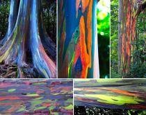 Eucalipto arcoiris