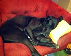I could look at pictures of Great Danes attempting to squeeze themselves into furniture all day long.