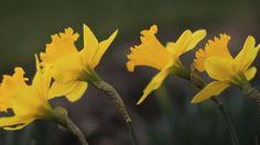 amazing daffodils