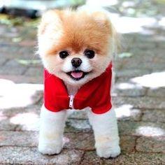 boo-definitely the worlds cutest dog
