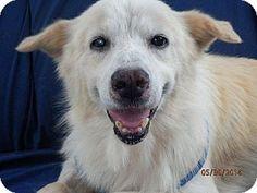 Knoxville, TN - Golden Retriever/Spitz (Unknown Type, Large) Mix. Meet Joe, a dog for adoption. http://www.adoptapet.com/pet/10934199-knoxville-tennessee-golden-retriever-mix