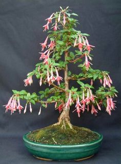 Growing Fuchsia Bonsai. Never realized how many different varieties of bonsai there were.
