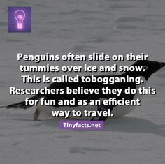 fun fact : Penguins slide for fun. <3