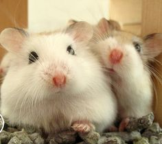 Dwarf hamster couple in love.