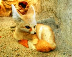 omg I want one of these babies! Fenic Fox, Fantastic Fox, Wolf Photos, Little Fox, God Loves Me, Red Fox, Foxes, Beautiful Creatures, Cool Pictures