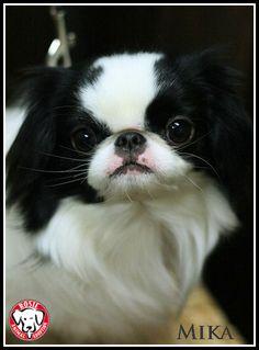 Petfinder  Adoptable | Dog | Japanese Chin | Kirkland, QC | Mika