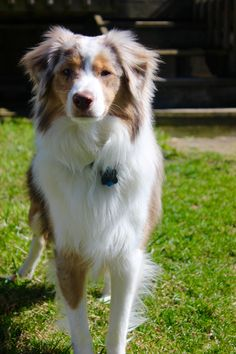 Australian Shepherd Red Merle Hartley #australianshepherd