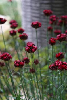 Beautiful Dianthus cruentus flowers