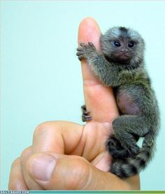 Marmoset the size of your finger. OMG if I saw this I would DIE of absolute compact cuteness!!!