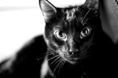 ROMEO     Hermano de Julieta, recogido en la calle. Es una pequeña pantera muy cariñosa y juguetona. Como gato no es dominante, se deja mandar por su hermana. Es un gato muy bonito pero con poca salida porque lamentablemente en España la gente no suele querer este color de gato. A nosotros nos parece precioso y adorable. Quieres conocerlo? contacta con nosotros: asociacionaman@gmail.com