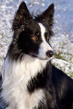 Most up-to-date Pictures Border Collies filhote Strategies The particular National boundaries Collie hails from the borderlands associated with Britain in addition to Sc. Border Collie Pictures, Border Collie Art, Border Collie Puppies, Collie Dog, Australian Shepherds, English Shepherd, West Highland Terrier, Scottish Terrier, Rottweiler