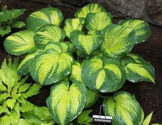 Giant Hosta Cultivar Giant mound of gold centered foliage with an irregular dark green margin. Thick and heavily corrugated leaves form a beautiful lar