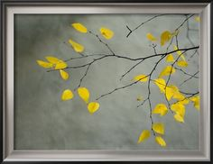 Yellow Autumnal Brich (Betula) Tree Limbs Against Gray Stucco Wall (maybe for my yellow & gray room)