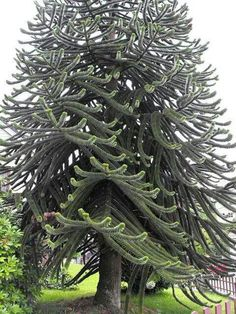 Monkey puzzle tree, these are often seen in the Pacific N.W.