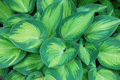 "Hosta ""June"" shade plants - A Way To Garden Shade Garden Plants, Hosta Plants, Types Of Hostas, Container Gardening, Gardening Tips, June Pictures, Hardy Perennials, Garden Landscaping"