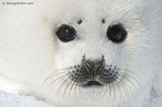 Harp seal white coat baby Photo by Daisy Gilardini -- National Geographic Your Shot