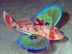 "funnywildlife:    funnywildlife:  The Butterfly of the Sea: Red GurnardThe Red Gurnard (Chelidonichthys spinosus)is one of 100 different species ofSea Robins, or Gurnards. These fantastic fish are normally found on the sea floor at depths of around 660 ft. They have a special set of 'wings,' which are actually just beautiful pectoral fins, that allow them to ""fly"" through the water. They also possess six spiny feet that allow them to walk across the ocean floor in search of food."