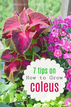How to Grow Coleus in Your Garden and Yard all summer long! This shade perennial is so full of color and an easy plant to grow. #shadeplants #gardeningtips #shadegarden #shadeperennials