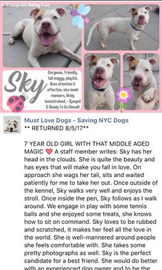 RETURN! STRAY! RTO 2/4/12 SUPER URGENT Brooklyn Center  SKY – A0894476  **returned 08/05/17**  SPAYED FEMALE, WHITE / TAN, STAFFORDSHIRE MIX, 7 yrs STRAY – STRAY WAIT, HOLD FOR ID Reason STRAY Intake condition EXAM REQ Intake Date 08/05/2017, From NY 11694, DueOut Date 08/10/2017, http://nycdogs.urgentpodr.org/sky-a0894476/