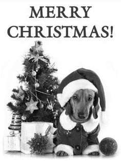 Miniature Dachshunds, Merry Christmas, Miniatures, Teddy Bear, Animals, Merry Little Christmas, Animales, Happy Merry Christmas, Animaux