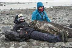 Wild Elephant Seal Pup Crawls Onto Woman's Lap For A Nap