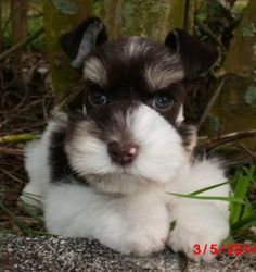Toy & Mini Schnauzer puppies for sale, Parti Breeders,Fl AKC