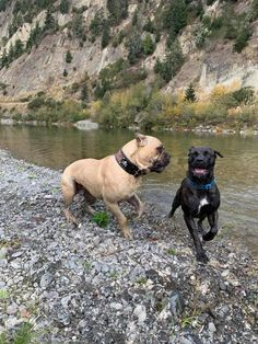 52 Best Cane Corso Different Types And Examples Images In 2019