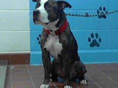 Petfinder  Adoptable | Dog | Pit Bull Terrier | Agoura, CA | HANK | Pet ID: A4658229
