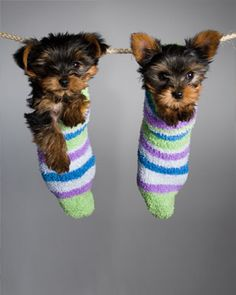 Yorkie puppies in socks. Looks like Buttercup's puppy pictures!