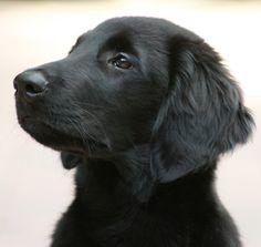 Retriever Rescue of Colorado, Adopt a Dog, Retriever Breed Type