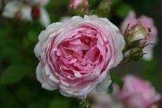 Mit dem Charme der ewig Junggebliebenen verzaubert Wife of Bath® den Rosenliebhaber durch ihre zartrosa gefüllten Blüten, die wie für die er...