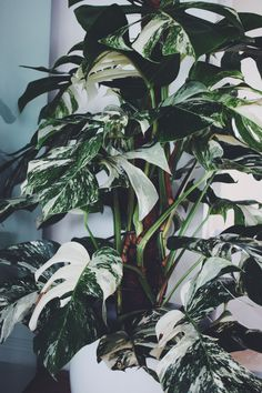 Monstera deliciosa variegata - definitely a plant goal but, because it has some genetic variations that prevent it from photosynthesizing as well as it's non-variegated pals, there will be some unique care requirements. Unique Plants, Cool Plants, Green Plants, Monstera Deliciosa, Tropical Garden, Tropical Plants, Plant Aesthetic, Aesthetic Roses, Plants Are Friends