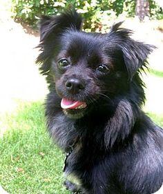 Kennesaw, GA - Pomeranian/Chihuahua Mix. Meet Finch, a dog for adoption. http://www.adoptapet.com/pet/13265355-kennesaw-georgia-pomeranian-mix
