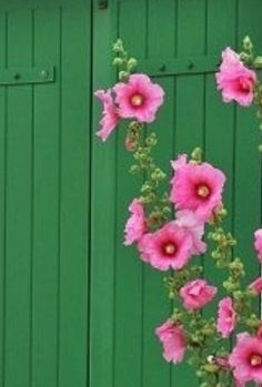 Hollyhocks at the Cottage