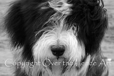 Dog Photography Bearded Collie Puppy Has Wind by overthefenceart, $