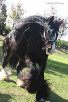 *now THAT is some serious hair!*Gypsy Vanner Horses for Sale | Stallion | Black Bay | Billy Boy
