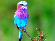 Lavender & Blue Bird Wallpaper from Beautiful Birds. Pretty Birds, Love Birds, Beautiful Birds, Animals Beautiful, Beautiful Pictures, Amazing Animals, Colorful Animals, Colorful Birds, Cute Animals