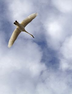 Tundra swan flying overhead, Kent Island by chesbayprogram, via Flickr