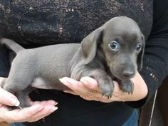 Blue dachshund puppies...say what?! I had no idea doxies came in this color...now I have to have one! #Dachshund