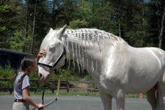 Cremello Lusitano   How close to a Silver Unicorn though right?