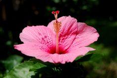 Ο Ιβίσκος με τα εντυπωσιακά λουλούδια Hibiscus, Landscape Paintings, Home And Garden, Pure Products, Rose, Nature, Flowers, Plants, Beautiful