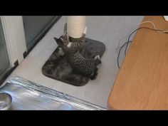 Cat in the Kitchen: Pompadour and her Scratch Pole