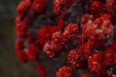 Дубки (хризантемы)